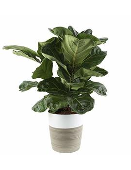 Costa Farms Live Ficus Lyrata, Fiddle Leaf Fig, Indoor Tree, 2 Feet Tall, Ships In Décor Planter, Fresh From Our Farm by Costa Farms